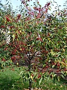 Brooklyn Botanic Garden:Crabapple の実