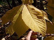 Brooklyn Botanic Garden:紅葉 Pawpaw の葉