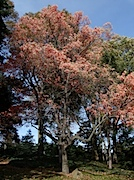 Brooklyn Botanic Garden:紅葉